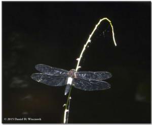Jun28_39_JindaiBotGar_DragonflyFromDNGRC