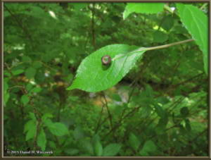 Jun28_44_JindaiBotGar_Helwingia_japonicaRC