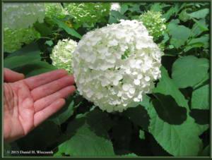 Jun28_54_JindaiBotGar_HydrangeaRC