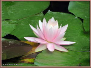 Jun28_69_JindaiBotGar_WaterLilyRC
