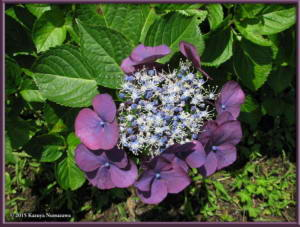 June28th_24_JindaiBG_HydrangeaRC