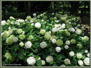 June28th_40_JindaiBG_HydrangeaRC