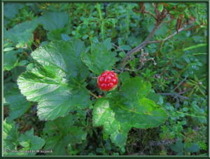 July13_20_WickershamDome_Rubus_chamaemorus_CloudberryRC