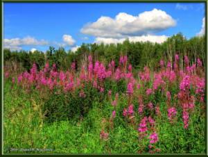 July7_08_09_10_CreamersField_Fireweed_TMDERC