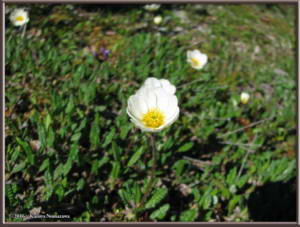 June23rd_081_TwelvemileSummit_DryasOctopetalaRC