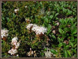 June23rd_091_TwelvemileSummit_RhododendronTomentosumRC