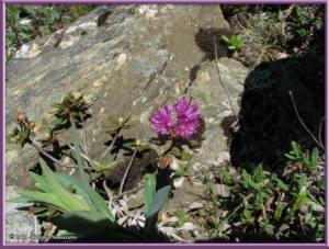 June23rd_288_EagleSummit_RhododendronLapponicumRC