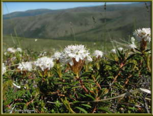 June23rd_313_EagleSummit_RhododendronTomentosumRC