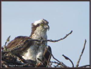 Jul8_005_Osprey_ElliottHwyRC
