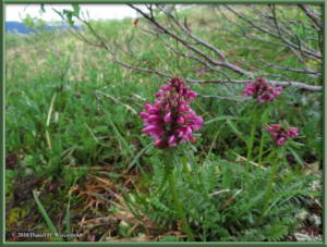 July17_021_EagleSummit__Pedicularis_sudeticaRC