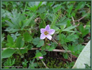 July17_051_EagleSummit_Claytonia_sarmentosaRC