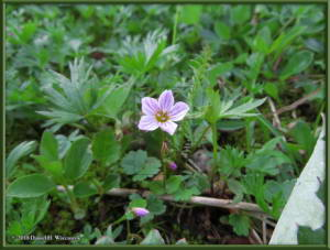 July17_052_EagleSummit_Claytonia_sarmentosaRC