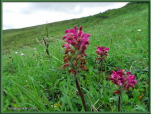 July17_054_EagleSummit_Pedicularis_sudeticaRC