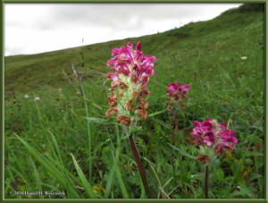 July17_055_EagleSummit_Pedicularis_sudeticaRC