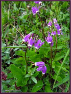 July17th_113_EagleSummit_DodecatheonFrigidumRC