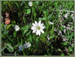 July18_066_EagleSummit_Stellaria_longipes_ssp_longipesRC