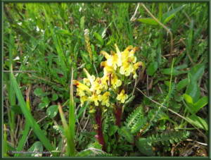 July18_122_NearEagleSummit_Pedicularis_oederiRC