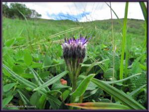 July18_187_TwelvemileSummitArea_Saussurea_angustifolia_var_yukonensisRC
