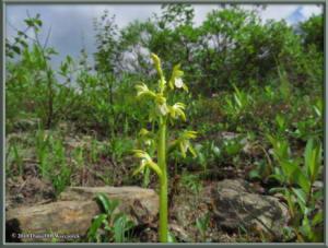 July18_210_TwelvemileSummitArea_Corallorhiza_trifidaRC