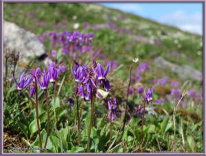July18th_121_EagleSummit_DodecatheonFrigidumRC