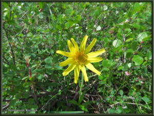 July3_26_WickershamDome_Arnica_lessingiiRC