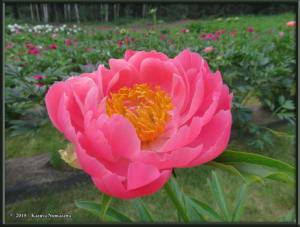 June30th_014_SunriseFarm_CoralCharmRC