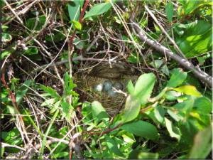 Jul3_066_Twelvemile_BirdNestEggsRC