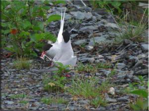 July17_059_Valdez_ArcticTernRC