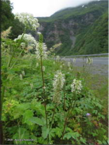July17th_052_Valdez_HorsetailFalls_SanguisorbaCanadensisRC