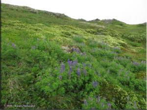 July17th_227_ThompsonPass_LupinusNootkatensis_PhyllodoceAleuticaRC