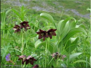 July19th_312_CraigieCreek_FritillariaCamschatcensisRC