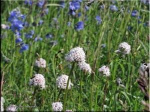 July3rd_080_TwelvemileSummit_ValerianaCapitata_PolemoniumAcutiflorumRC