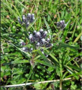 July3rd_082_TwelvemileSummit_SaussureaAngustifoliaVarAngustifoliaRC