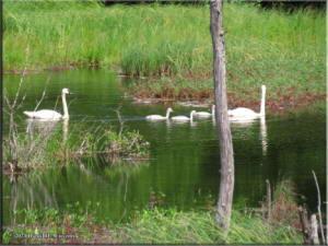Jul16_27_SwansCygnetsNearValdezRC