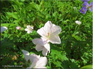 Jul18_048_HatcherPassArea_ClimbToPond_AlbinoGeraniumRC