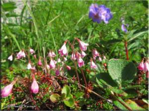 Jul18_060_HatcherPassArea_ClimbToPond_LinnaeaBorealisRC