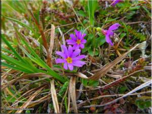 July14th_050_ThompsonPass_PrimulaCuneifoliaSspSaxifragifoliaRC