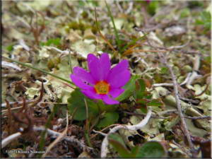 July14th_055_ThompsonPass_PrimulaCuneifoliaSspSaxifragifoliaRC