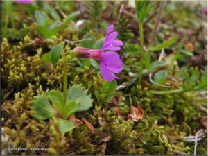 July14th_056_ThompsonPass_PrimulaCuneifoliaSspSaxifragifoliaRC