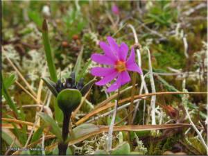 July14th_064_ThompsonPass_PrimulaCuneifoliaSspSaxifragifoliaRC