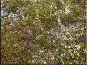 July14th_067_ThompsonPass_PrimulaCuneifoliaSspSaxifragifoliaRC