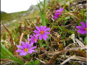 July14th_070_ThompsonPass_PrimulaCuneifoliaSspSaxifragifoliaRC