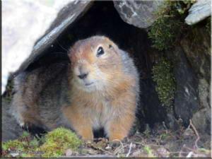 July14th_084_ThompsonPass_ArcticGroundSquirrelRC