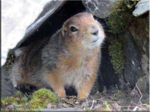 July14th_085_ThompsonPass_ArcticGroundSquirrelRC
