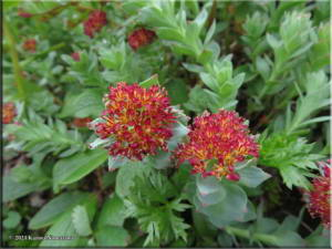 July14th_108_ThompsonPass_RhodiolaIntegrifoliaSspIntegrifoliaRC