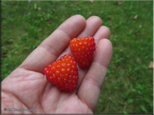 July14th_216_ValdezGlacier_RubusSpectabilisRC