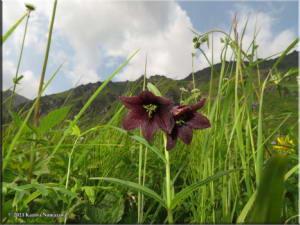 July17th_201_CraigieCreek_FritillariaCamschatcensisRC