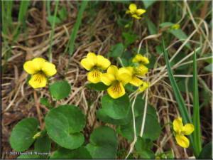 July6_027_ViolaBiflora_DiverGulchRC