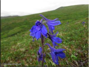 July6_130_DelphiniumBrachycentrum_DiverGulchRC