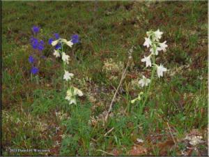 July6_175_EagleSummit_Albino_DelphiniumBrachycentrumRC